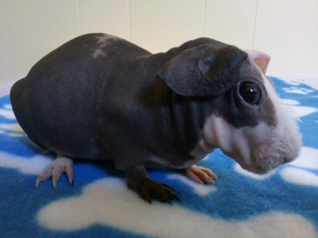 skinny pigs - Ashley