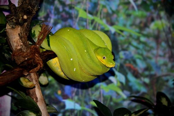 snake setup, green tree python in tree