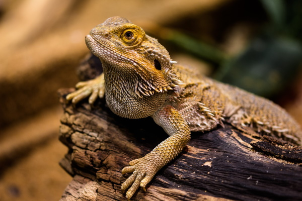 bearded dragons - best beginner reptiles?