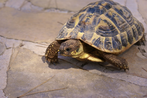 Russian tortoise - not one of the best beginner reptiles.
