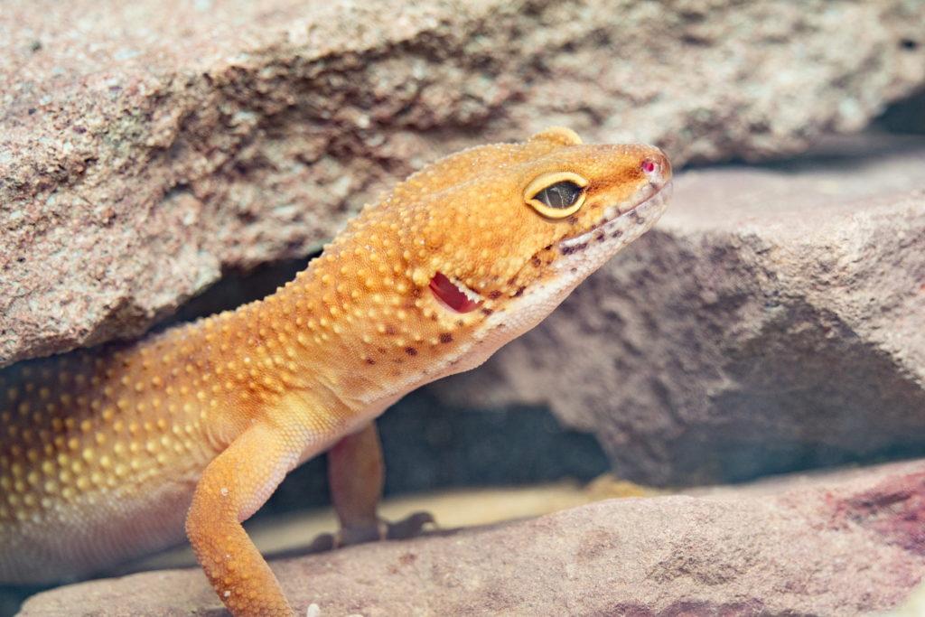 leopard gecko facts - habitat