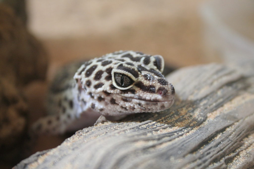 leopard gecko facts - last image