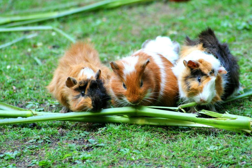 skinny-pigs-guinea-pigs eating