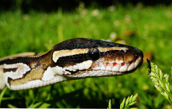 Royal Pythons are one of the greatest beginner reptiles for those interested in snakes.