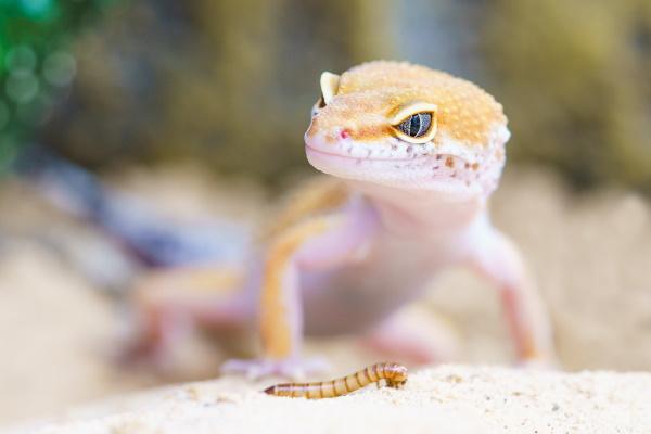 best beginner reptiles - leopard geckos