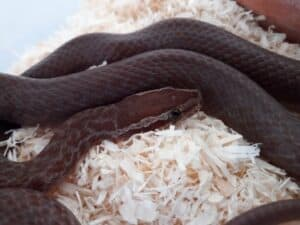 best beginner snakes - house snake