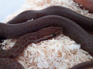 best beginner snakes - house snake