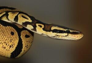 best beginner snakes - royal python