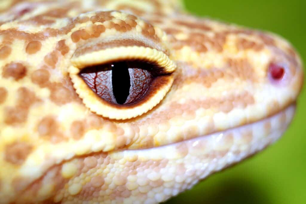 7 Leopard Gecko Morphs That Are Stunning But You Need To Know These Things 1