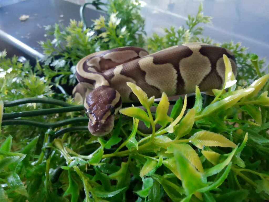 Royal Python care guide